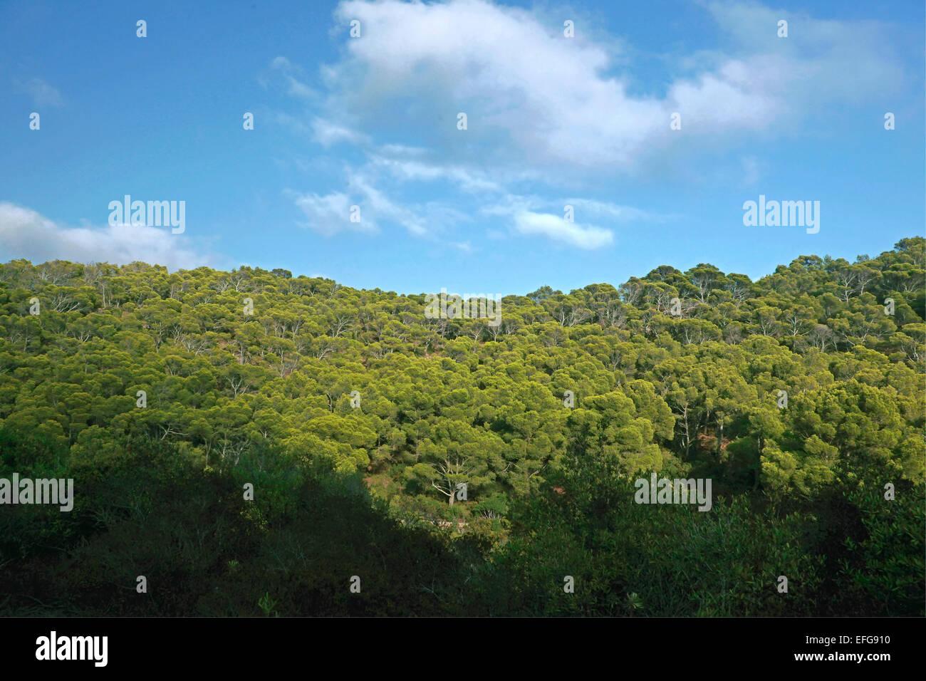 Pinewood of Aleppo Pine or Jerusalem Pine ( Pinus halepensis) Sardinia - Stock Image
