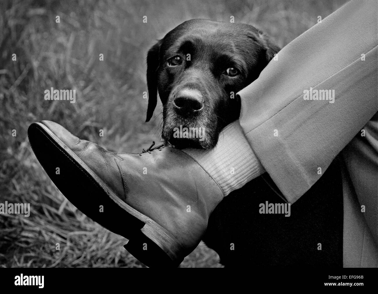 Portrait of black labrador resting head on man's leg, cropped black Stock  Photo - Alamy