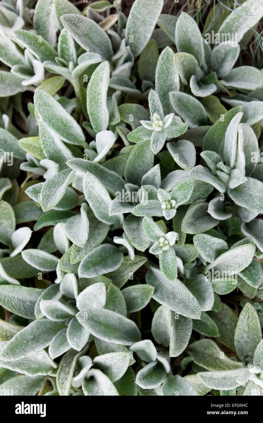 Pianta Orecchie Di Agnello lamb's ears plants (stachys byzantina stock photo: 78420088