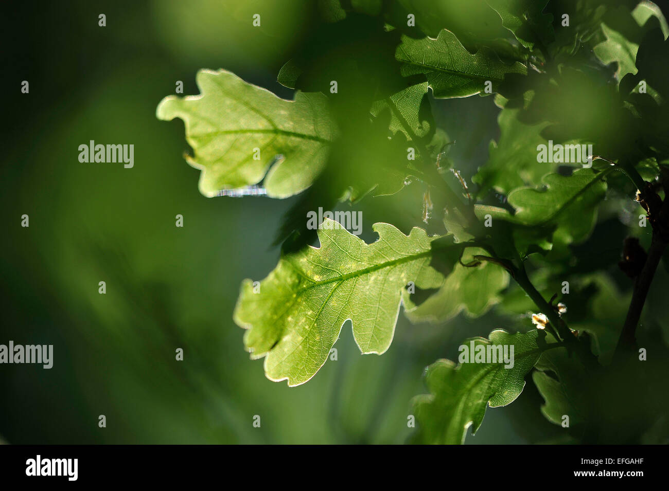 Close-up of green leaves from a tree made translucent from the sun - Stock Image