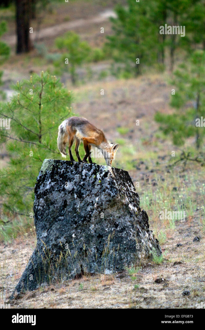 Red fox in Valley County, Idaho, USA. - Stock Image