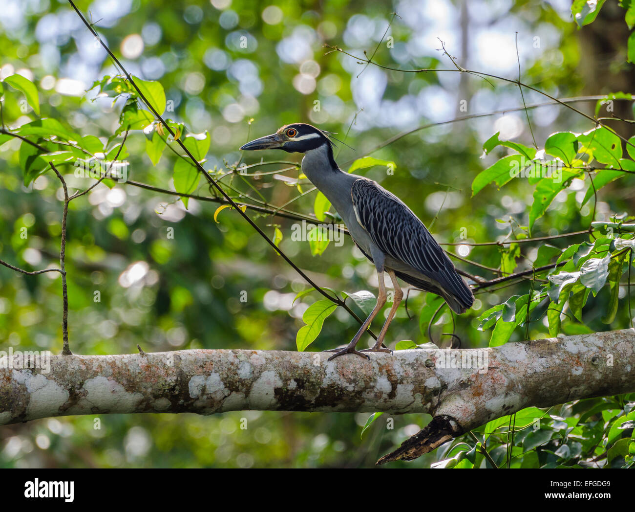 A Yellow-crowned Night-Heron (Nyctanassa violacea) on a tree. Belize, Central America. - Stock Image