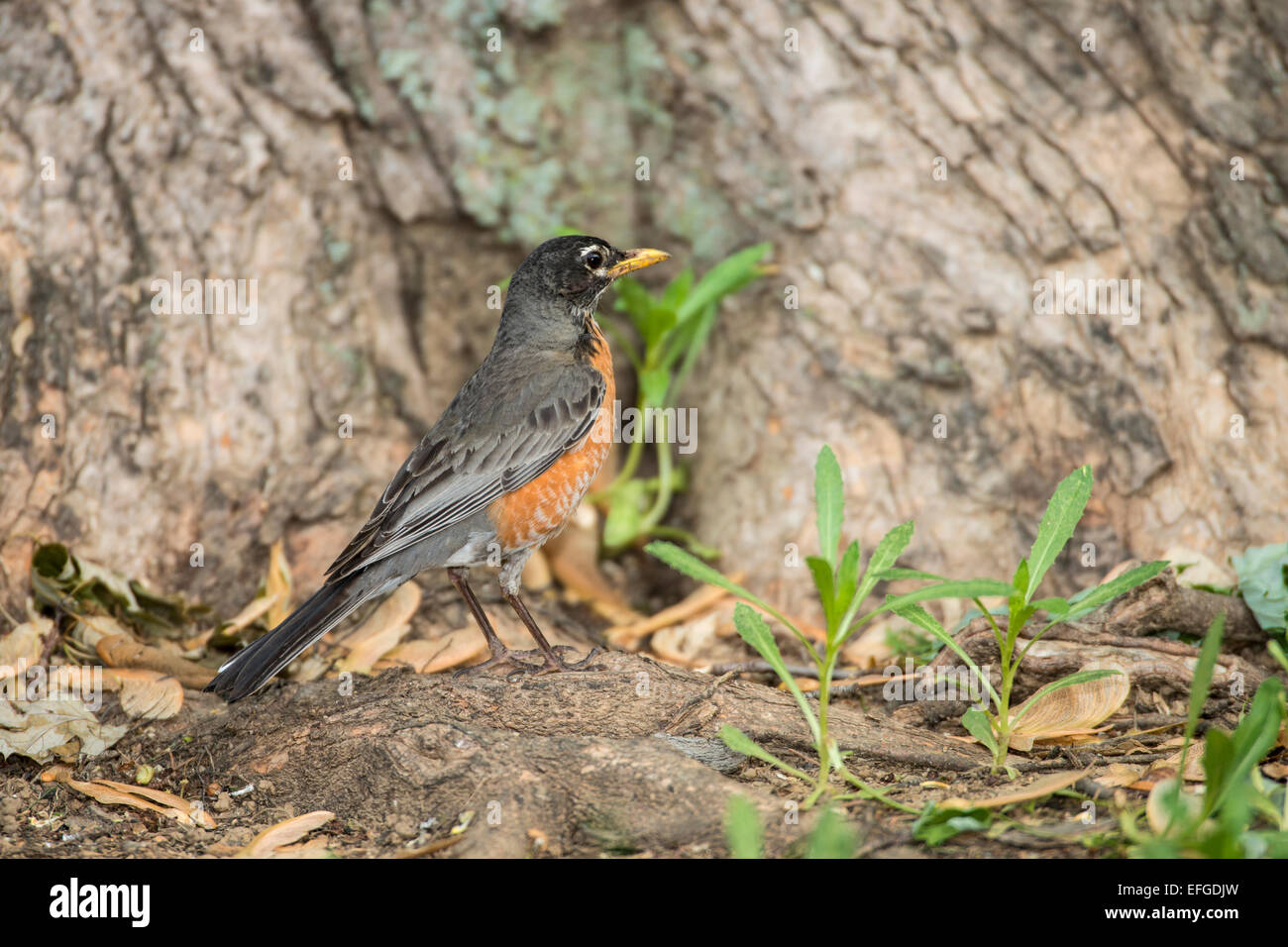 American Robin standing on tree root. - Stock Image
