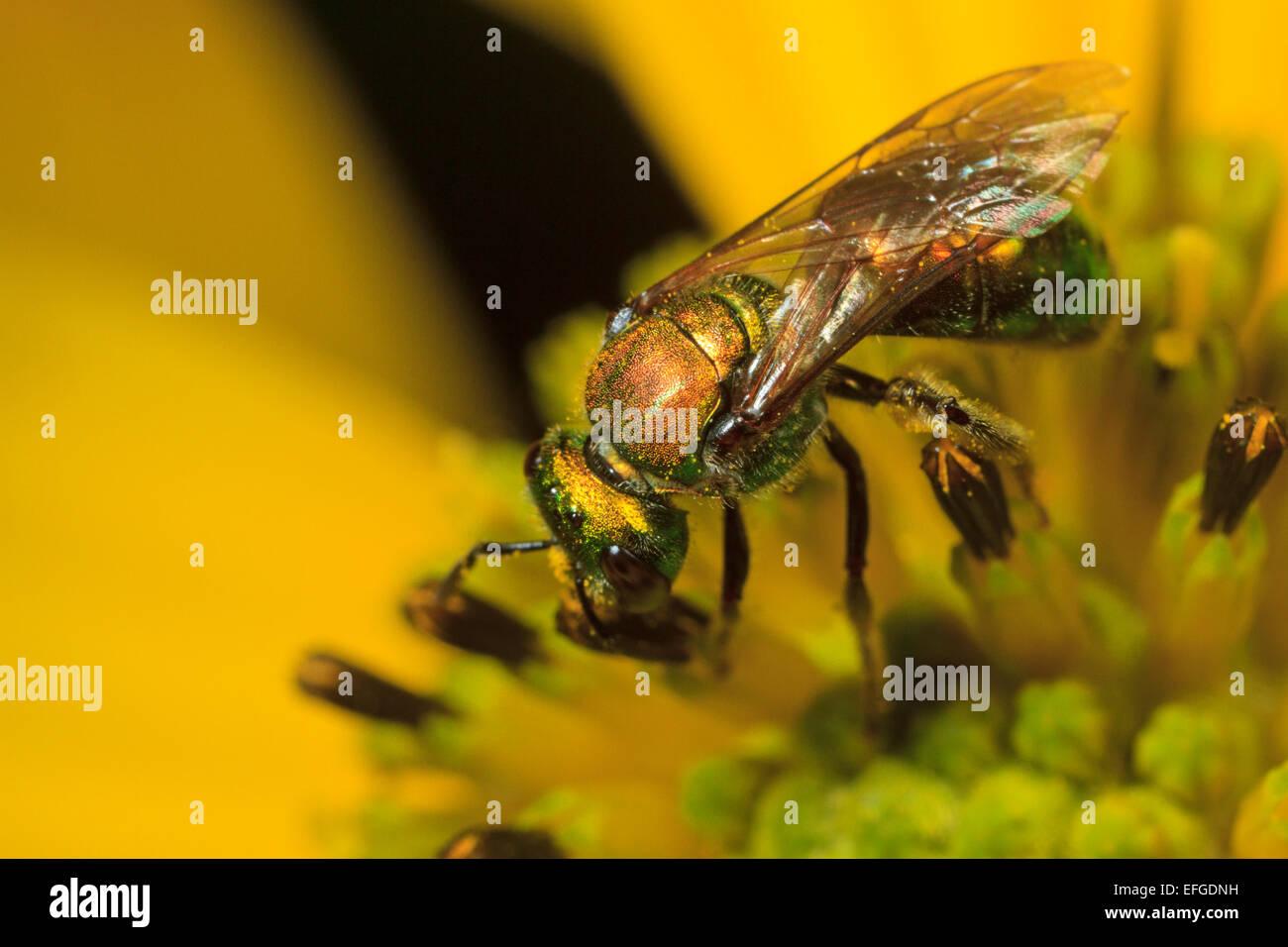 Green metallic sweat bee (Halictidae sp.) on a flower. - Stock Image