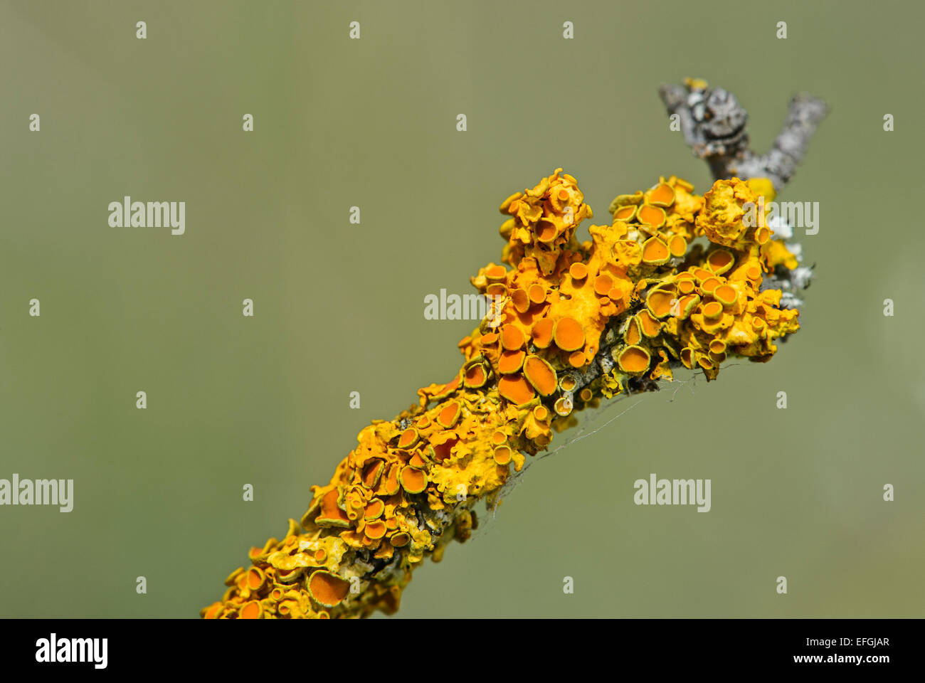 Common Orange Lichen (Xanthoria parietina) with bowl-shaped spore-bearing structures, apothecia, Alsace, France - Stock Image