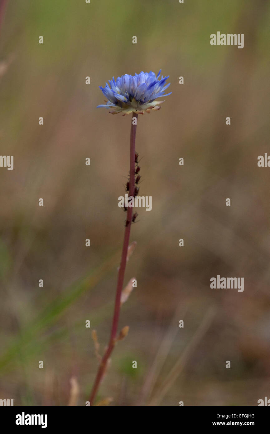 Flowering Field Scabiouse (Knautia arvensis), - Stock Image