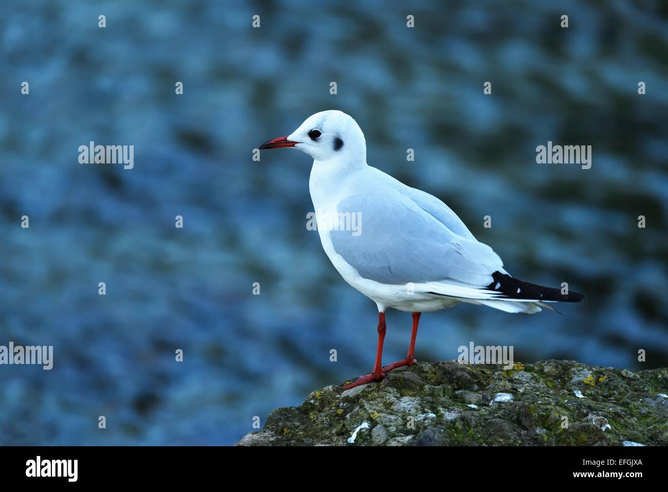 Black-headed Gull (Chroicocephalus ridibundus, Larus ridibundus), Lake Zug, Canton of Zug, Switzerland - Stock Image