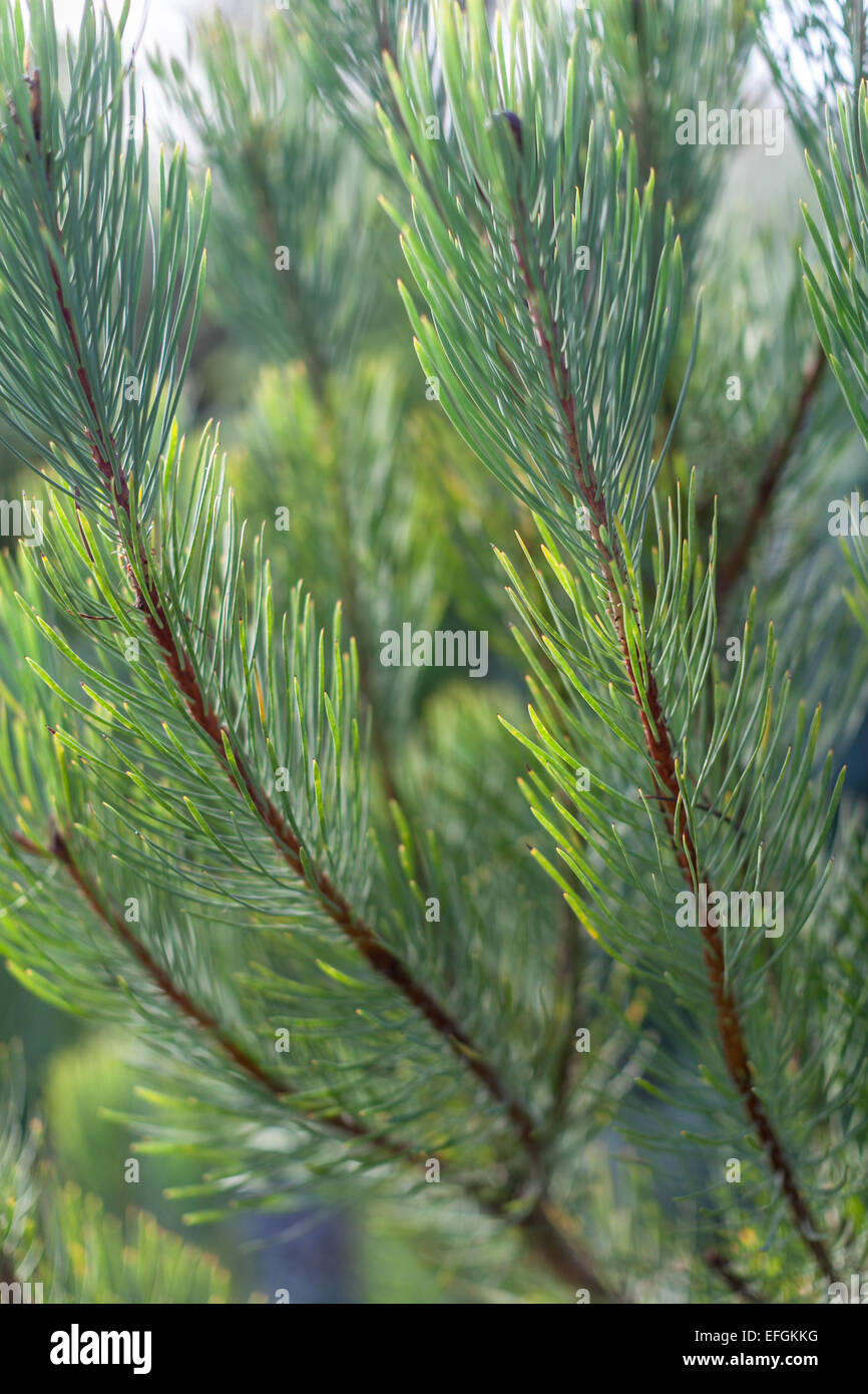 Vertical close up of green pine needles from a conifer tree. - Stock Image