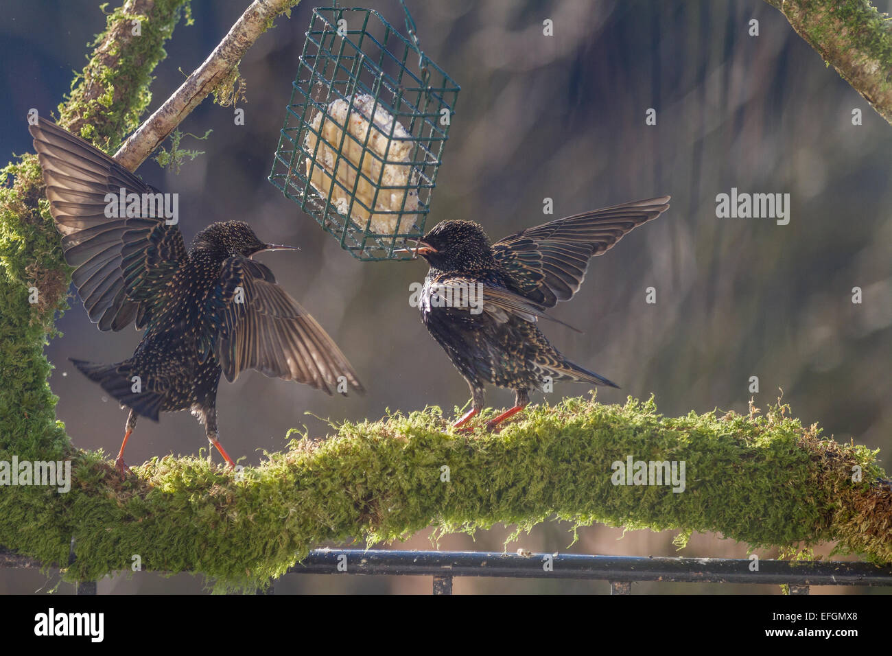 Two starlings on squabbling over food whilst stood on a mossy perch. Two starlings on squabbling over food whilst - Stock Image