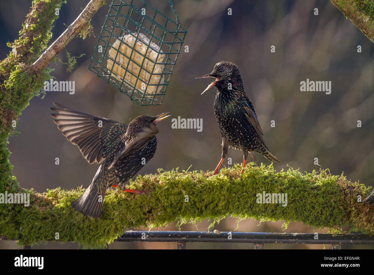 Two starlings on squabbling over food whilst stood on a mossy perch. They have their wings out and beaks open. Stock Photo
