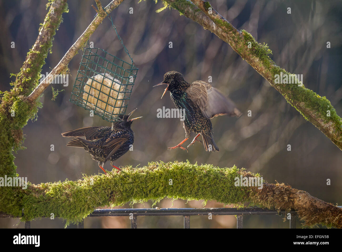 Two starlings on squabbling over food whilst stood on a mossy perch. They have their wings out and beaks open. - Stock Image