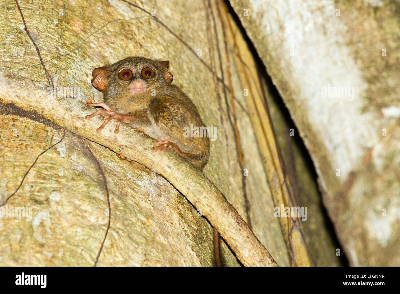 Spectral tarsier - Tarsius tarsier, Tangkoko Nature Reserve, North Sulawesi, Indonesia - Stock Image