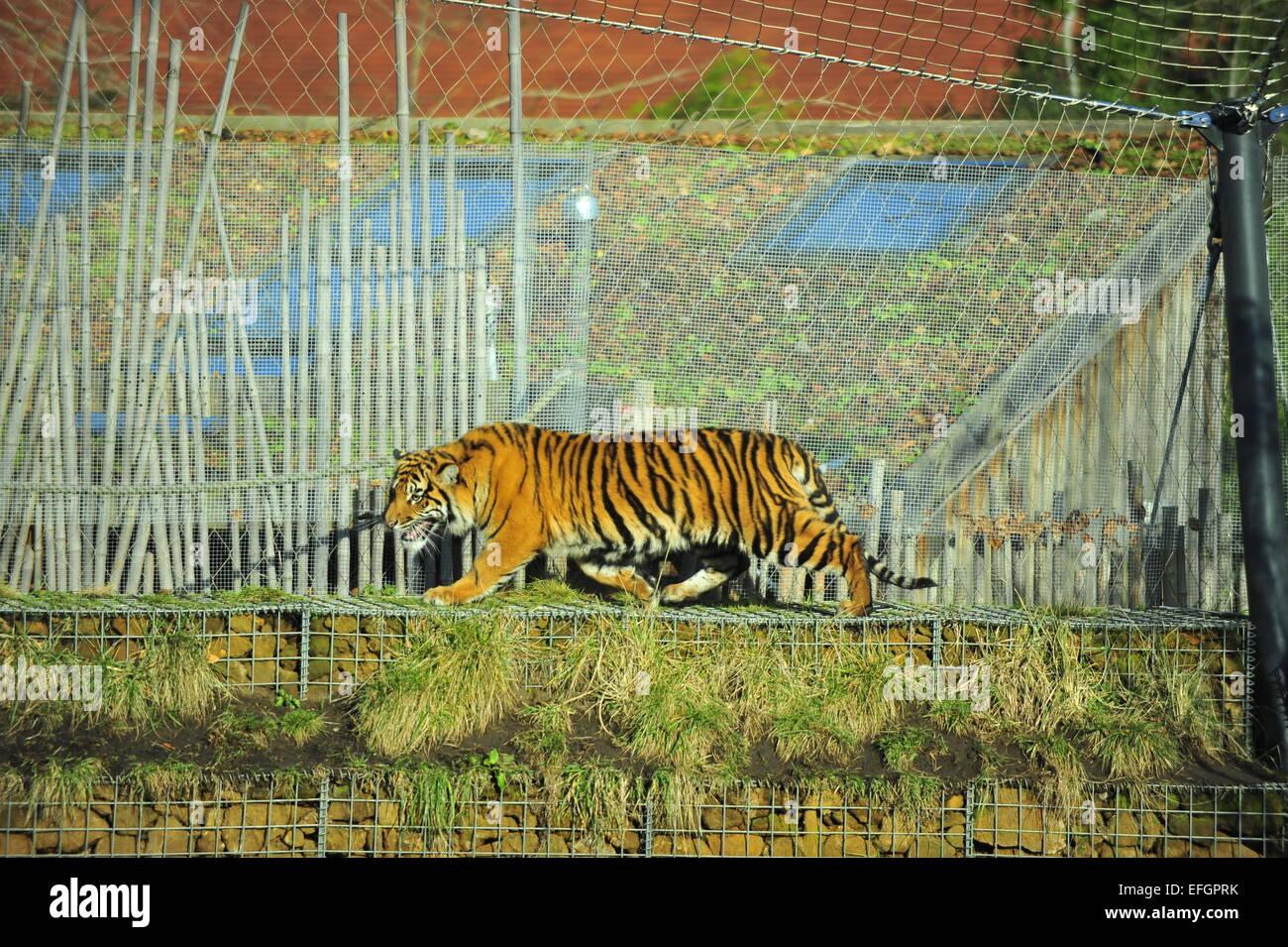 ZSL, London Zoo, UK. 4th February, 2015. One year old Sumatran tiger triplets Nakal, Budi and Cinta wake up to specially - Stock Image