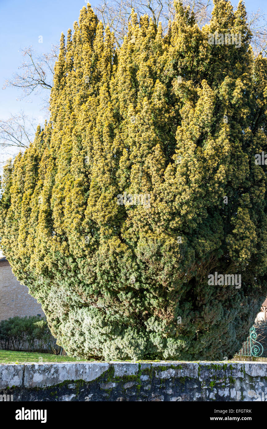Ancient yew tree (Taxus baccata) Stock Photo