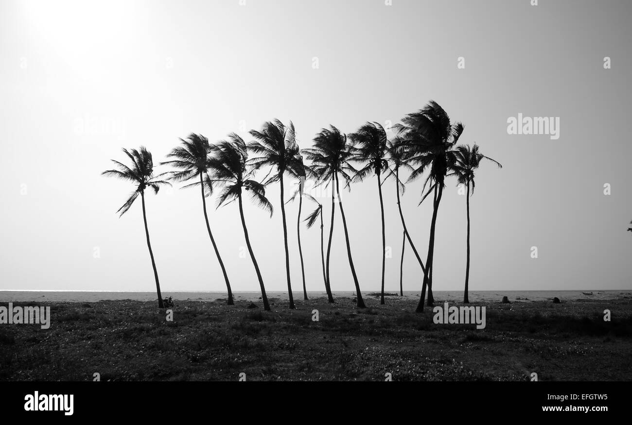 Coconut trees on the deserted beach. - Stock Image