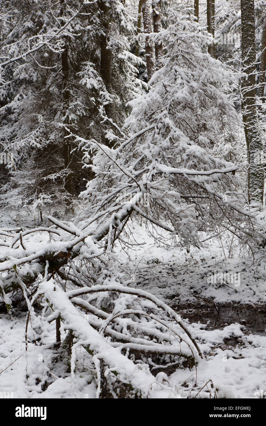 Winter landscape of natural forest with dead spruce tree trunks lying - Stock Image