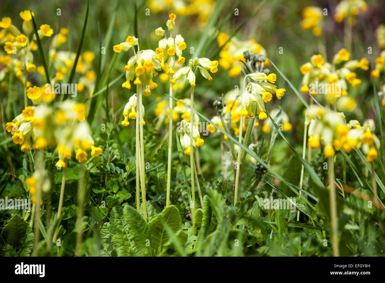 Primula veris (Common cowslip) Stock Photo