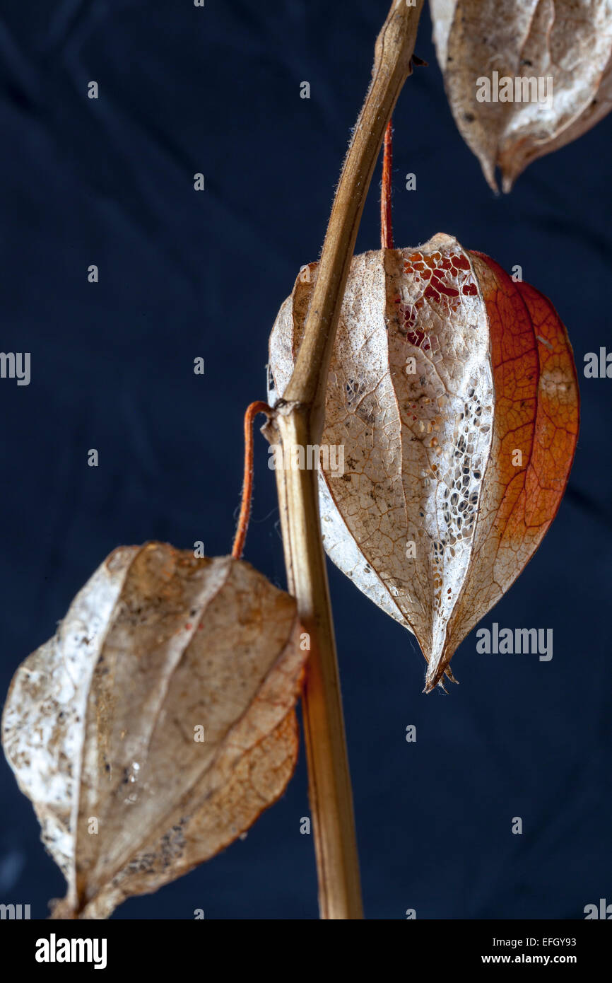 Close up of Physalis alkekengi seedhead (Bladder cherry) - Stock Image