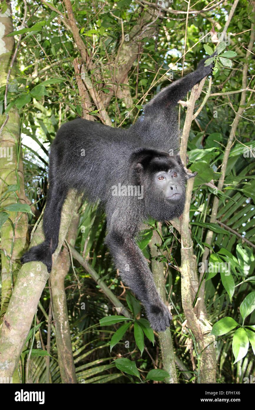 Yucatan Black Howler Monkey Alouatta pigra - Stock Image