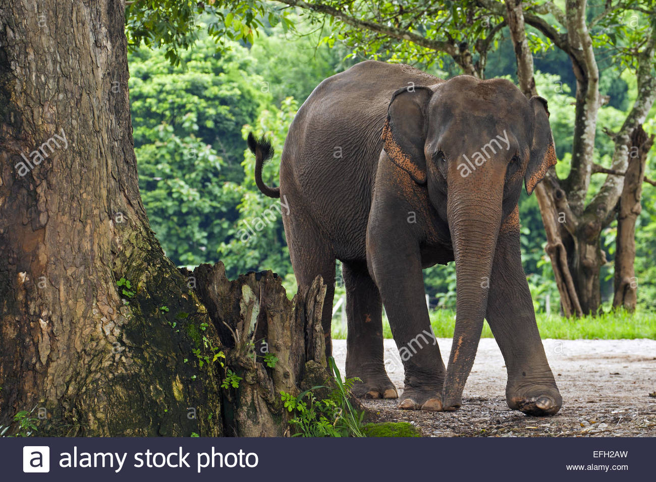 Crippled Asian elephant with injured foot, disabled by land mine, at rescue and rehabilitation center in Chiang - Stock Image