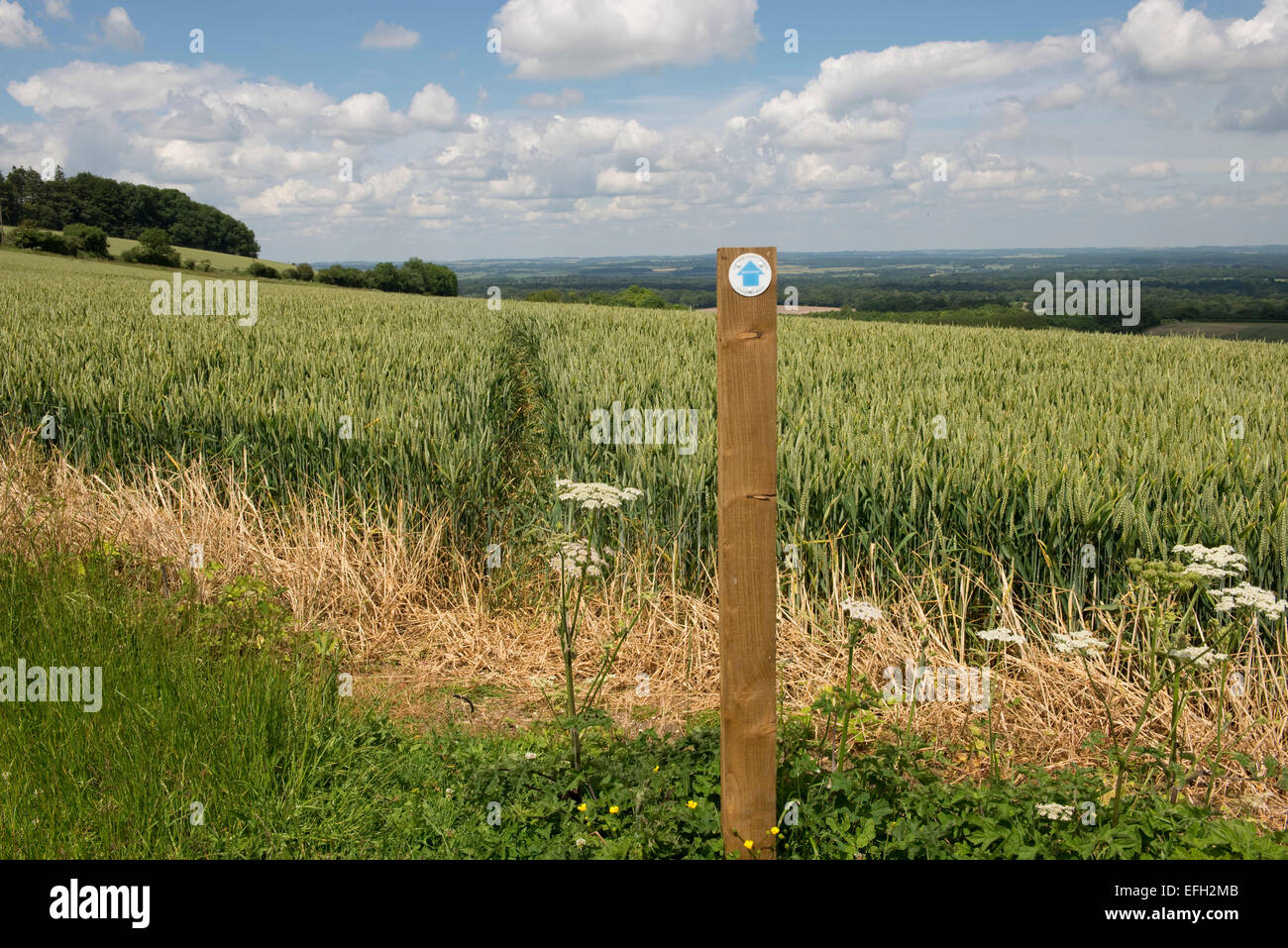 Footpath sign and public footpath cut through the middle of a wheat crop in green unripe ear.  Fine summer day in - Stock Image