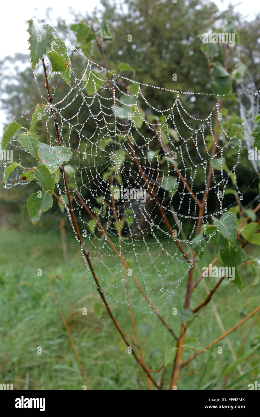 Web of an orb-web spider with water droplets on a foggy autumn morning on the branches of a young silver birch tree, - Stock Image