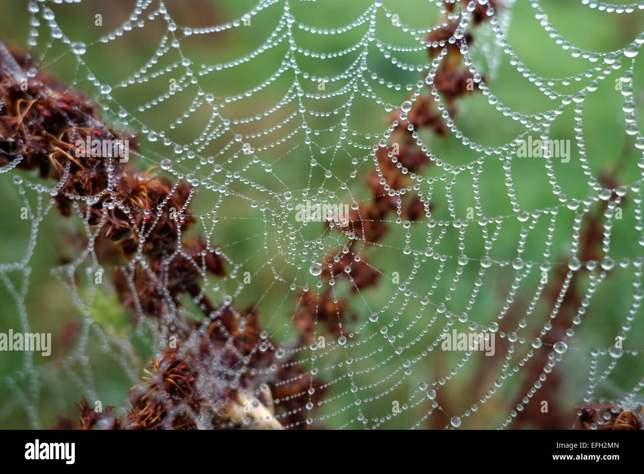 Web of an orb-web spider with water droplets on a foggy autumn morning on the seedhead of a dock plant, Berkshire, - Stock Image