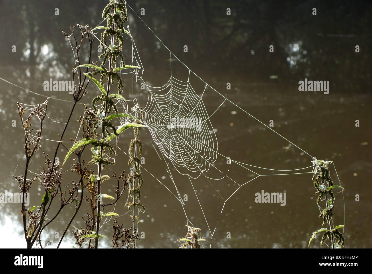 Web of an orb-web spider with water droplets on an autumn morning beside the Kennet and Avon Canal Berkshire, September - Stock Image
