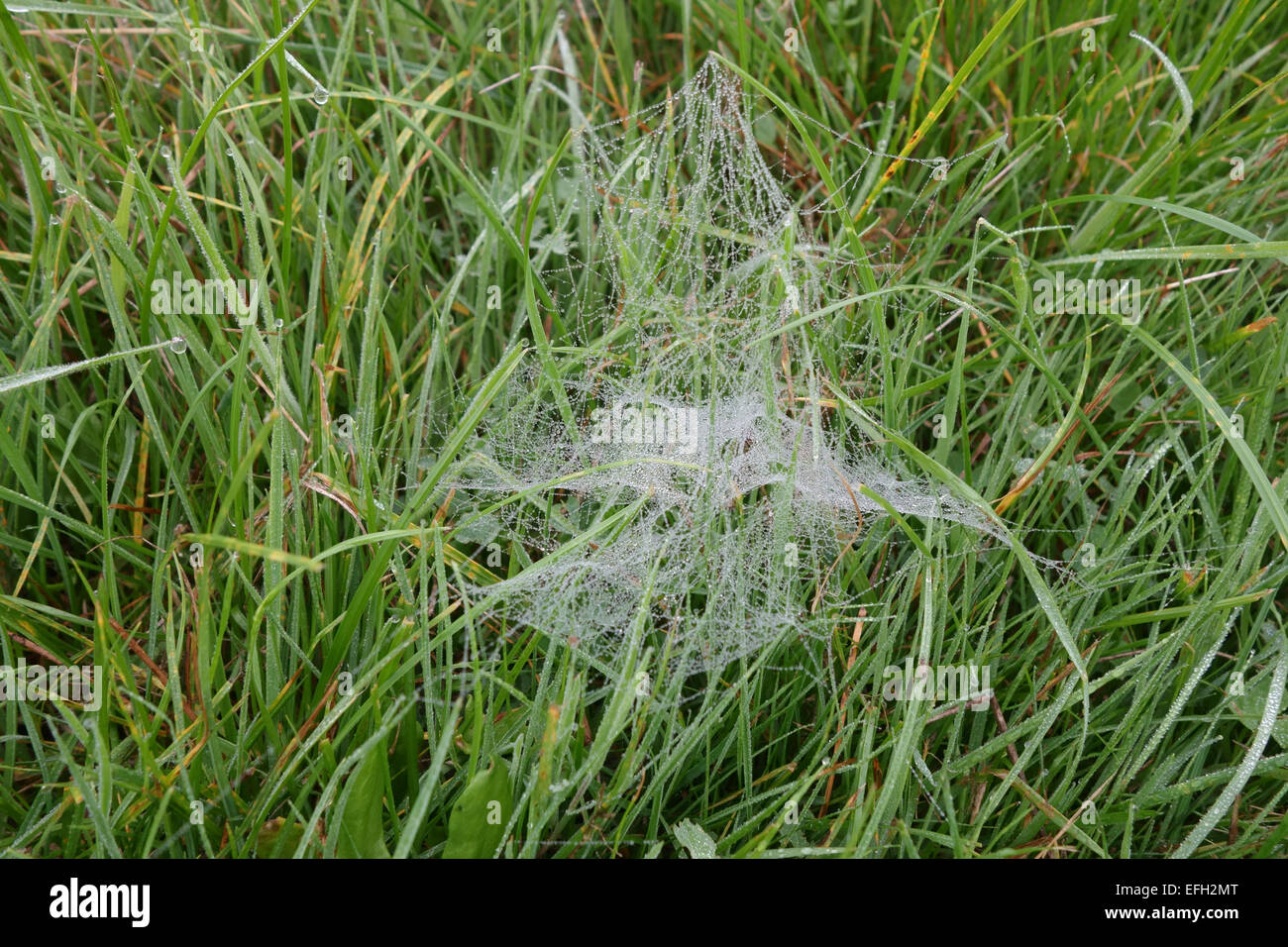 The web of a hunting spider, Lycosidae, with droplets of dew and built among the grass on a foggy autumn morning, - Stock Image