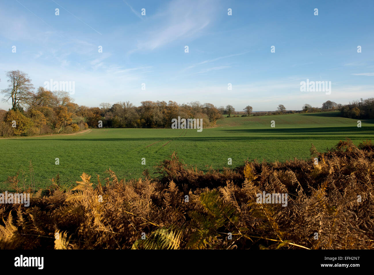 A young autumn crop of winter cereals on a fine day with blue sky and dry bracken in the foreground. Berkshire, - Stock Image