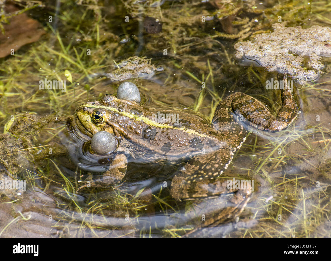 Croaking frog with filled vocal sacs - Stock Image