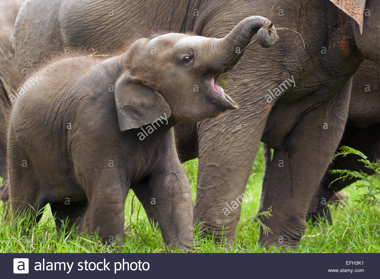Asian elephant (Elephas maximus) calf in herd eating twig held by trunk - Stock Image