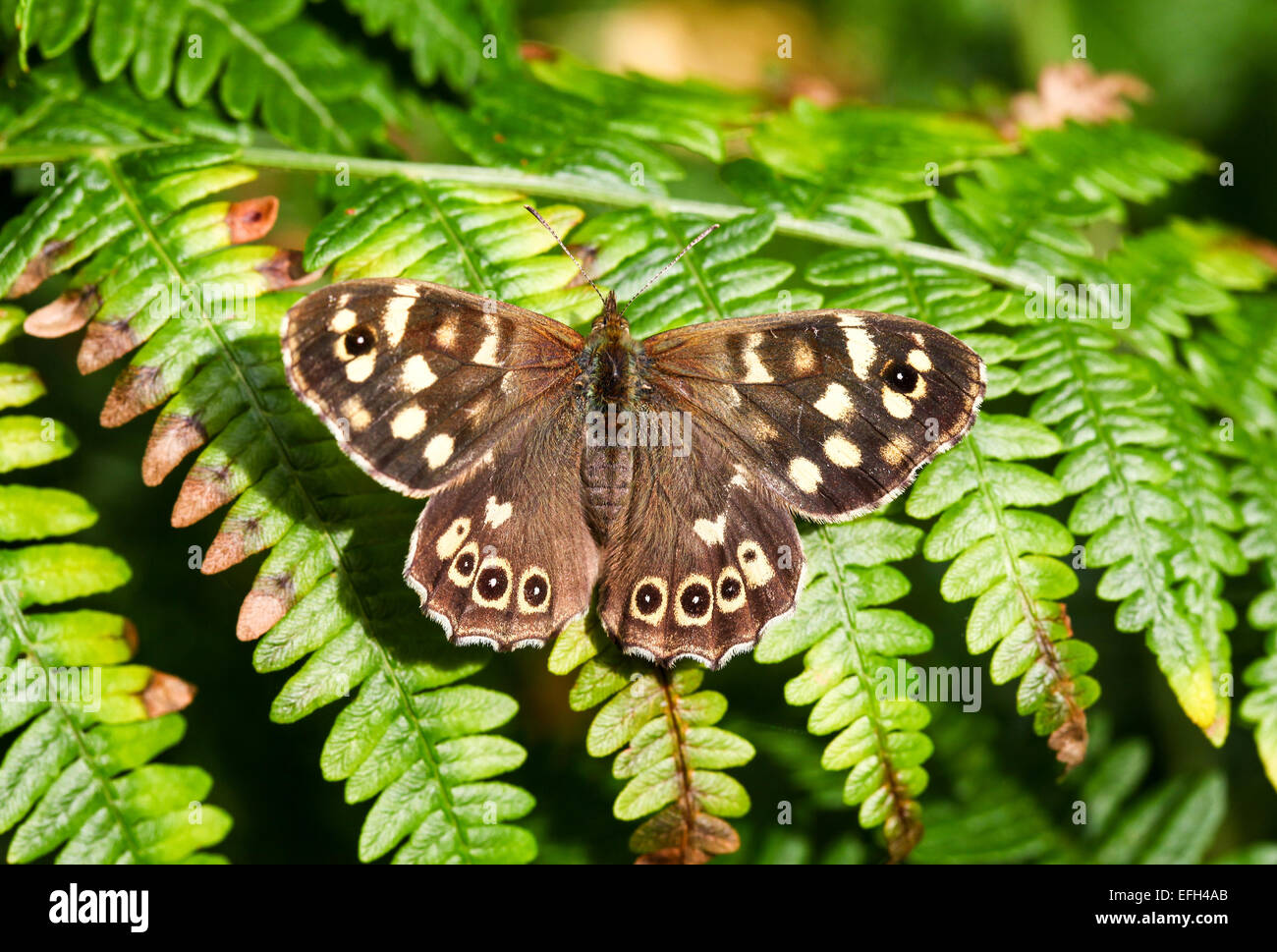 A close-up or macro shot of a Speckled Wood (Pararge aegeria) Butterfly - Stock Image