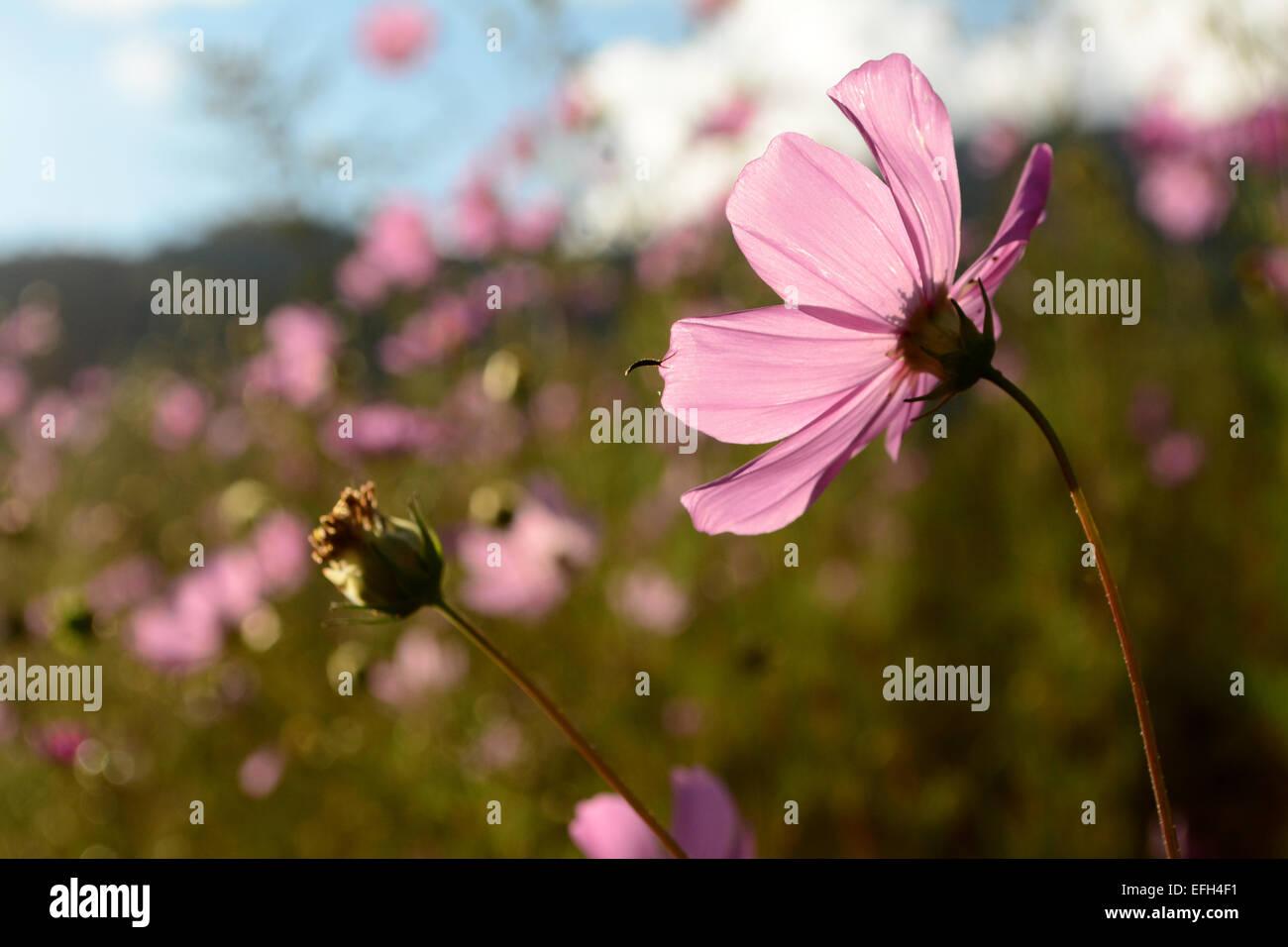 Wild Flower Bhutan Pink Stock Photos Wild Flower Bhutan Pink Stock