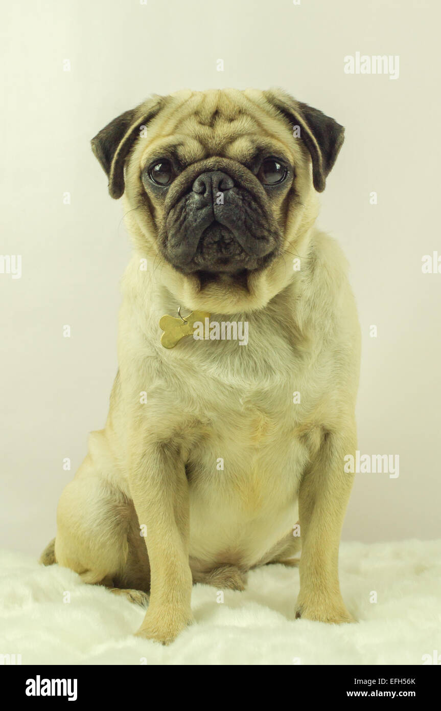 A Pug dog sitting on a rug - Stock Image