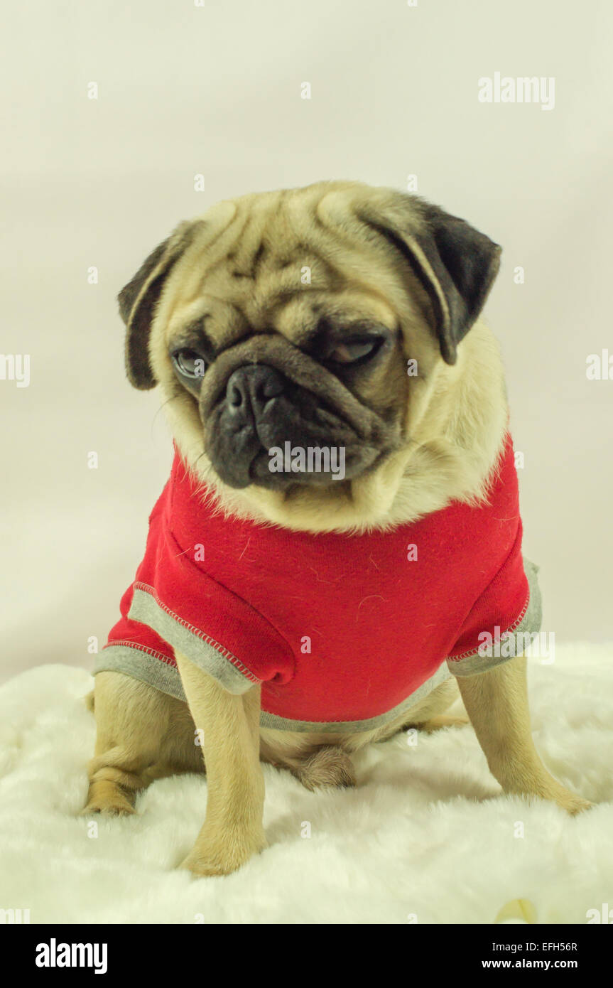 A Pug dog wearing a red top - Stock Image