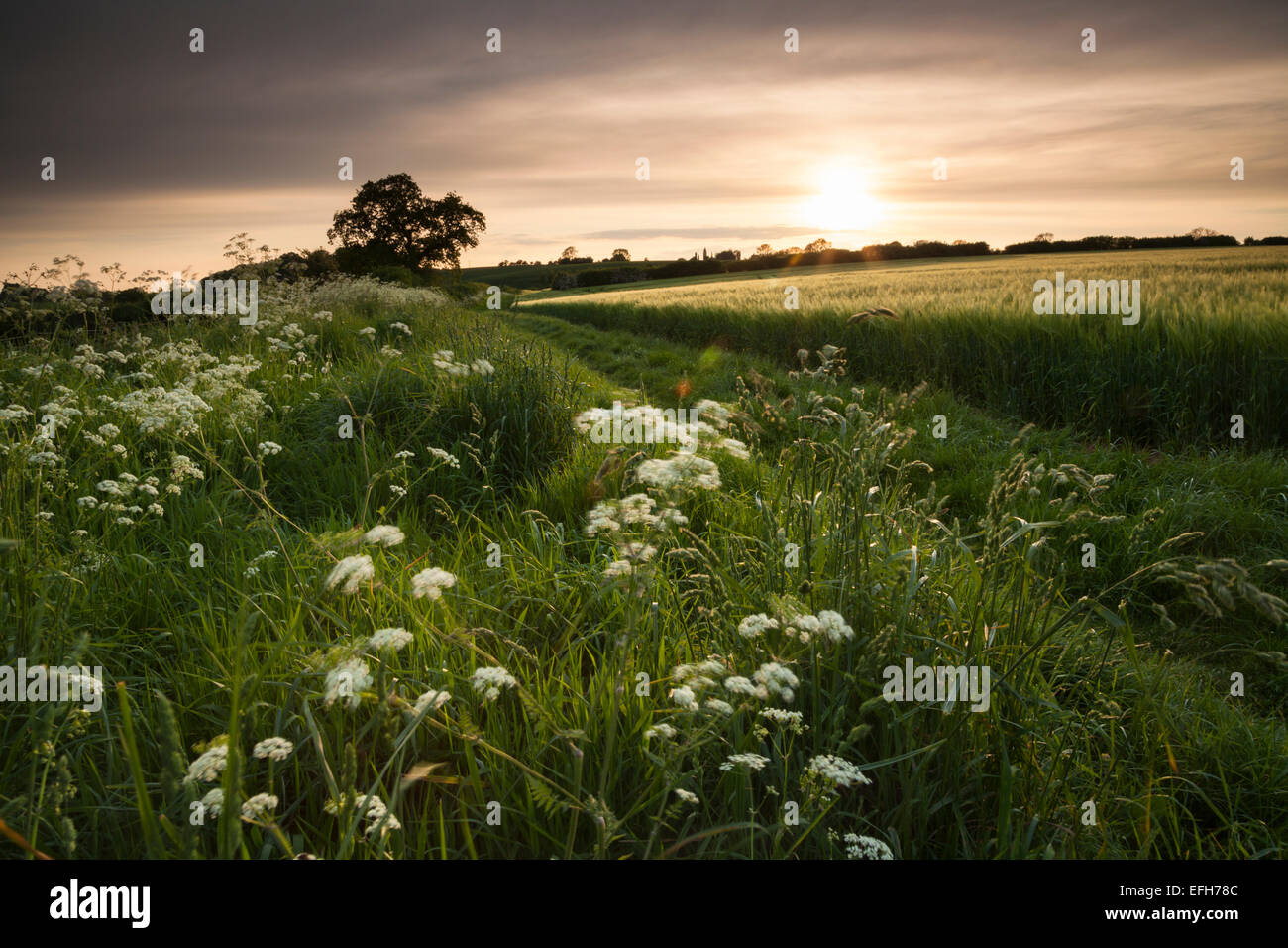 An early summer hedgerow of cow parsley and grasses beside a green country track and field of ripening barley near - Stock Image