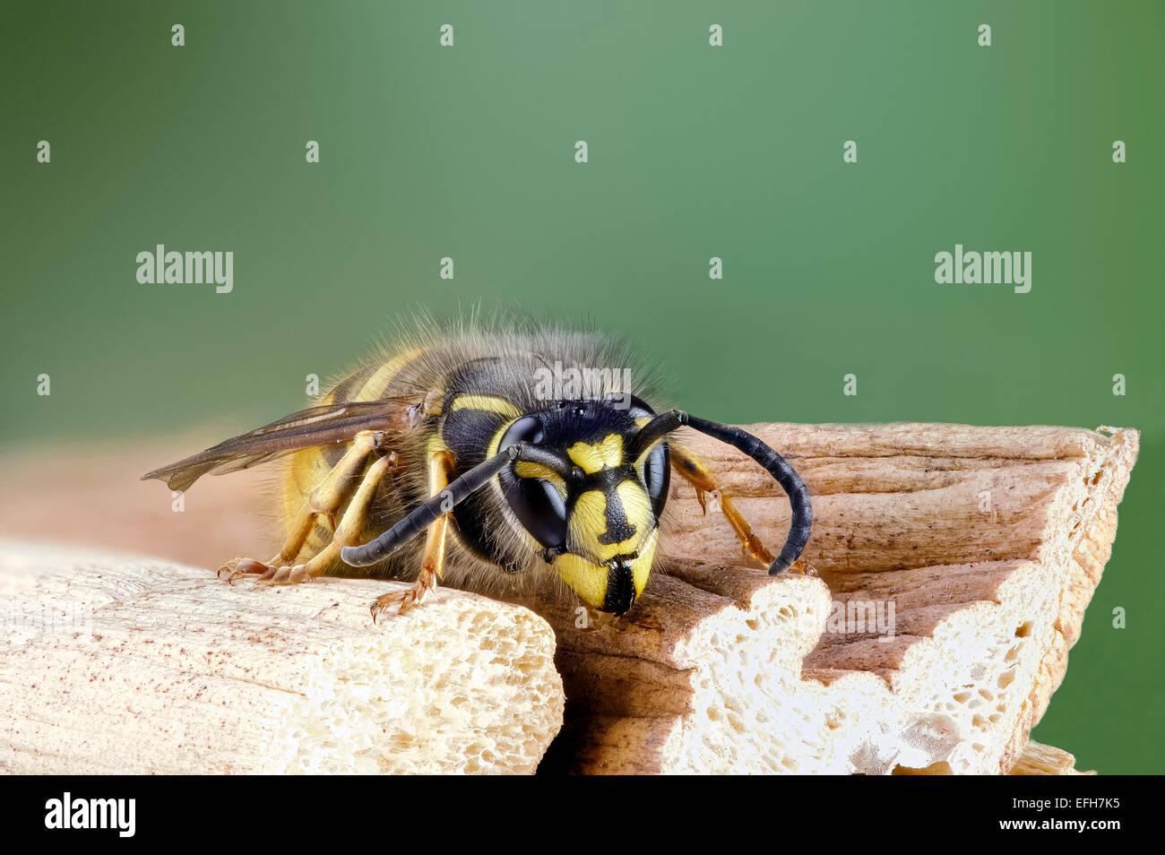 Close up of common wasp Vespula vulgaris - Stock Image