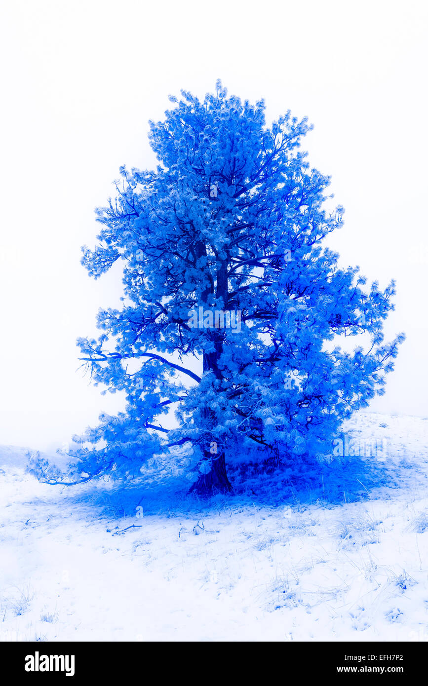 Frost covered Ponderosa pine tree, Iwetemlaykin Heritage Site, Oregon. - Stock Image