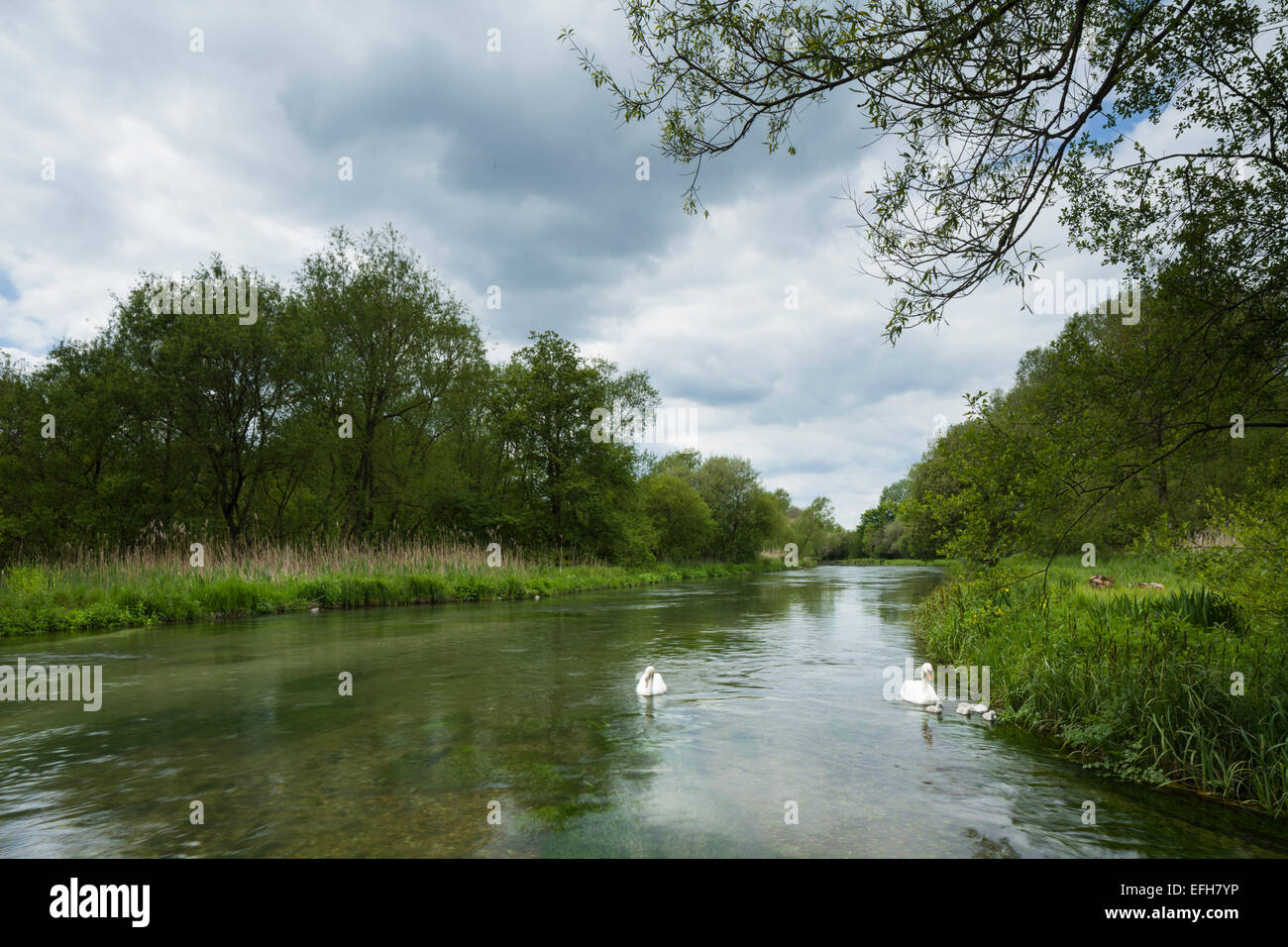 A pair of adult Swans and their five Cygnets on the River Itchen at Martyr Worthy near Winchester, Hampshire, South - Stock Image