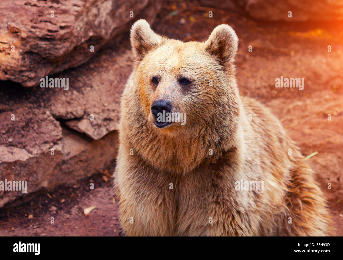 Far Eastern wild bear walk near rock - Stock Image