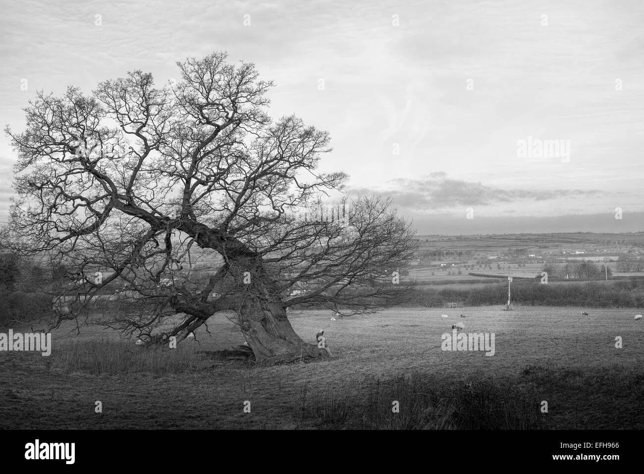 Man sitting under an oak tree on a sunny winter day, looking across the Welland valley. - Stock Image