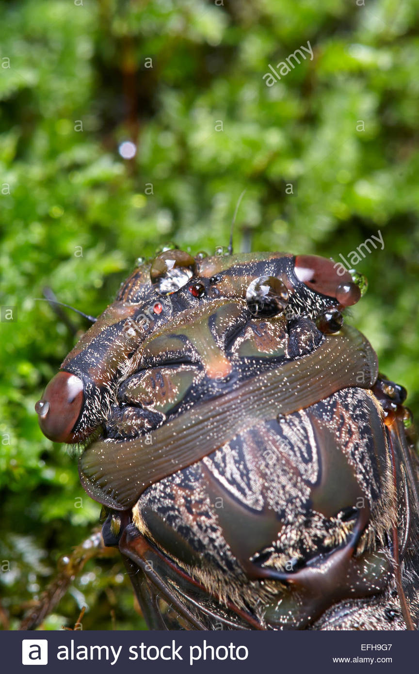 Macro image of a cicada's head with dew-drops on it's intricately colored and patterned body; with blurry - Stock Image