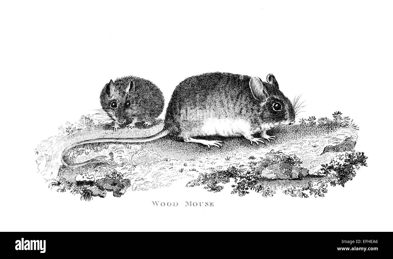 Victorian engraving of a wood mouse. Digitally restored image from a  mid-19th century