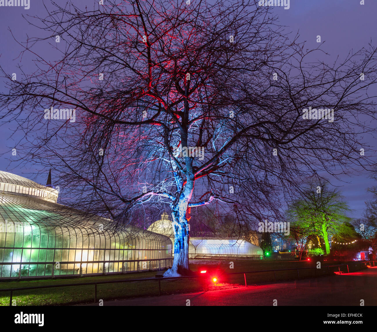 Illuminated tree and Kibble Palace:The Electric Gardens / Lux Botanicum, an event organised at Glasgow Botanic Gardens - Stock Image