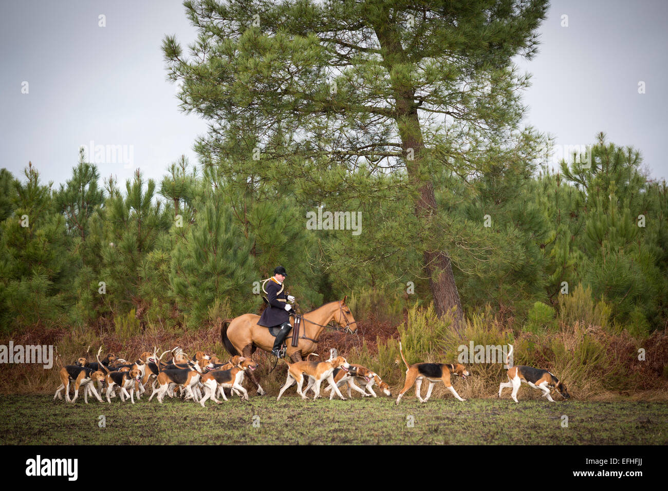 A huntsman surrounded with the pack of hounds at the time of a hunting in the Landes region (Aquitaine - France). - Stock Image