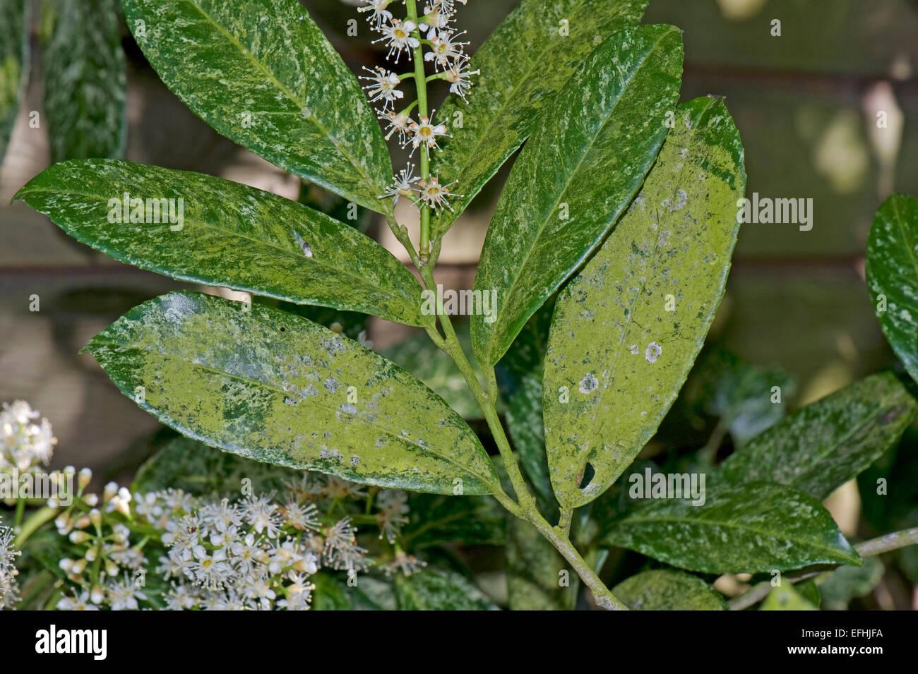 Algae forming a green covering of this perennial shrub, laurel, Prunus nobilis, in flower, Berkshire, April - Stock Image