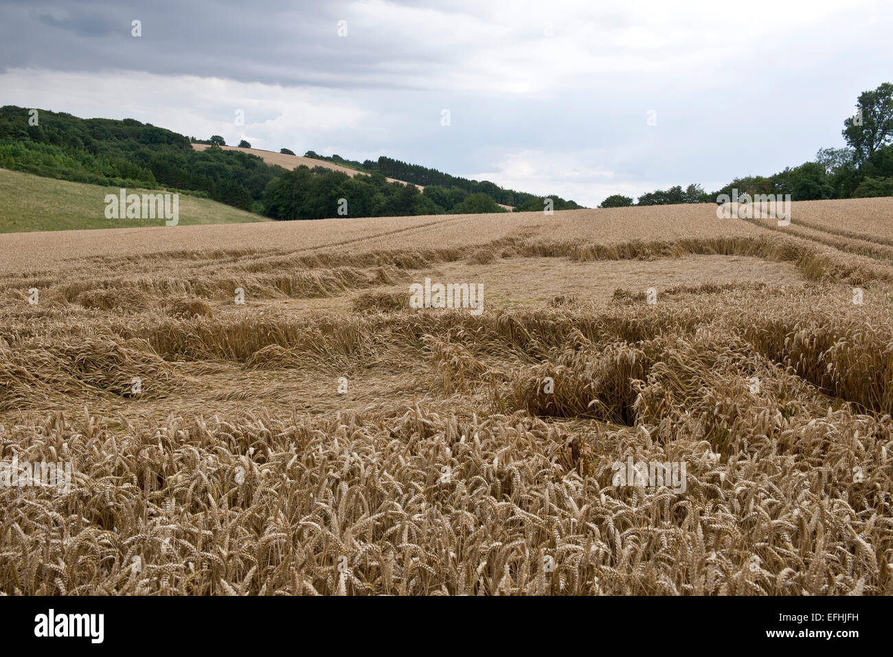 A ripe wheat crop flattened or lodged by a storm earlier in the season, Berkshire, July - Stock Image