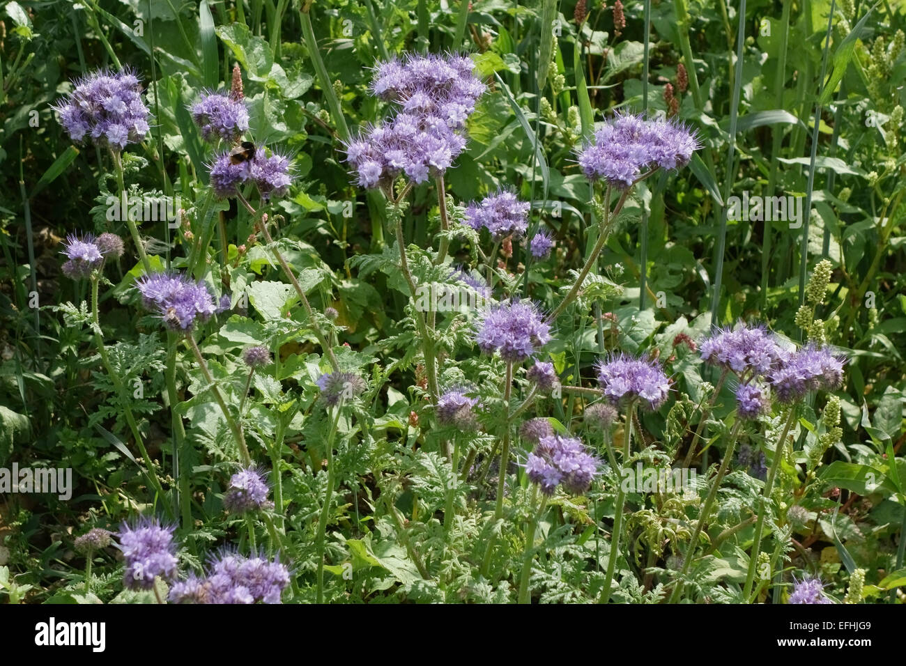 Blue flowers of phacelia, Phacelia tanacetifolia, in a wild flower strip used to attract predators to arable crops, - Stock Image