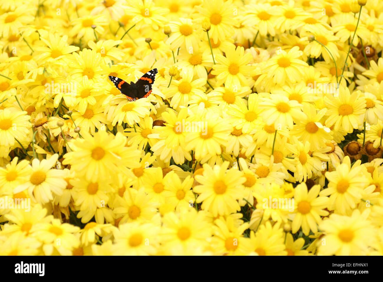 Butterlfy among yellow flowers - Stock Image